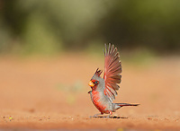 Pyrrhuloxia (Cardinalis sinuatus), adult male flapping wing, Rio Grande Valley, South Texas, Texas, USA