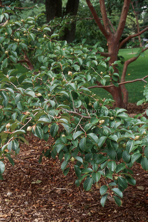 Stewartia pseudocamellia tree with brown fruit capsules after flowering. Japanese Stewartia.