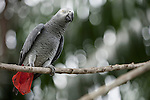 Bali, Indonesia; an African grey parrot, grey parrot or Congo African grey parrot (Psittacus erithacus) standing on a tree branch