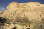 Israel, Negev. An Ibex at Ein Avdat national park in Wadi Zin