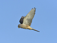 Kestrel Falco tinnunculus W 65-80cm. Familiar small falcon that habitually hovers where look-out perches are not available. Feeds on small mammals, ground-dwelling birds and insects. Sexes are dissimilar. Adult male has spotted, orange-brown back, blue-grey head, and blue-grey tail with black terminal band. Underparts are creamy buff with bold black spots. In flight from above, dark outer wing contrasts with orange-brown inner wing and back. Adult female has barred brown upperparts and pale creamy buff underparts with dark spots. In flight from above, contrast between brown inner wing and dark outer wing is less distinct than with male and tail is barred. Juvenile resembles adult female but upperparts are more reddish brown. Voice Utters a shrill kee-kee-kee… Status Common and widespread in open, grassy places. Breeding success dependent upon prey populations, notably Short-tailed Voles and Wood Mice.