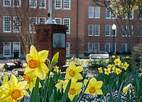 Daffodils at Lloyd-Ricks-Watson.<br /> (photo by Mitch Phillips / &copy; Mississippi State University)