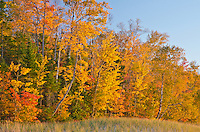 The Lake Superior shoreline edge progresses from beach to dune grass to the forest's edge in blazing autumn color, Hurricane River beach, Pictured Rocks National Lakeshore, Alger County, Michigan