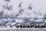 Black Skimmer (Rynchops niger) flock taking flight, Amelia Island, Florida