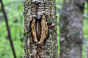 May 2017 - A man-made tree wound on a yellow birch tree along the Mt Tecumseh Trail in New Hampshire. This wound is from man not using proper protocol to remove a painted trail marker (blaze) from the tree. This blaze was painted on the tree in 2011, and then improperly removed from the tree in the spring of 2012. The bark, where the blaze was, was cut and peeled away creating a tree wound.