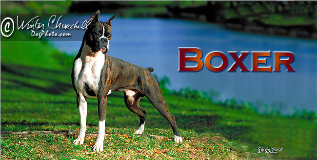 Boxer in the park This design is offered on gift merchandise ONLY.<br />