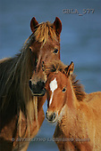 Bob, ANIMALS, horses, photos(GBLA577,#A#)