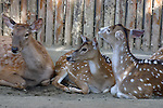 Three young deer at San Diego Wild Animal Park