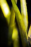 USA, California, Tiburon, close-up of eel grass, Richardson Bay