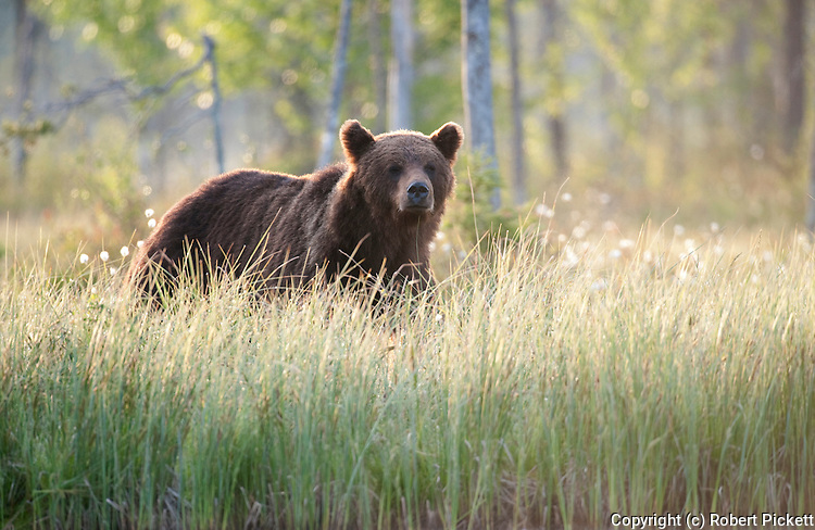 European Brown Bear, Ursus arctos arctos, Kuhmo, Finland, Lentiira, Vartius near Russian Border, foraging in forest, evening sunset