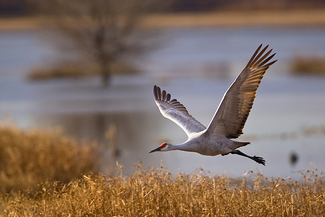 A Sandhill crane in flight, Bosque Del Apache National Wildlife Refuge, New Mexico, USA, December 16, 2007. Photo by Gus Curtis