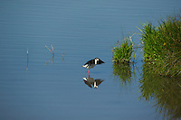579500019 a wild black-necked stilt himantopus mexicanus stretches its wings in a pond in modoc national wildlife refuge california