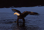A bald eagle standing in water in Alaska.