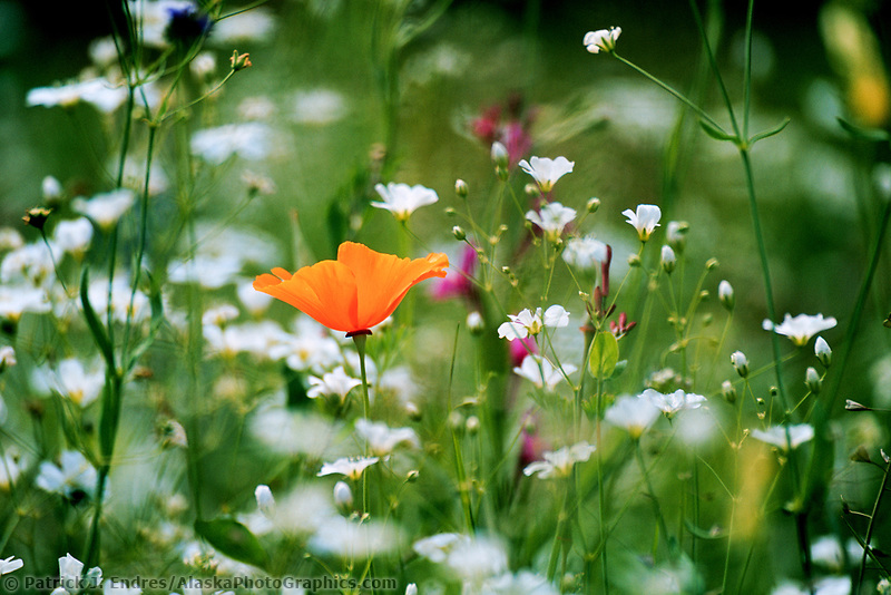 Lone poppy in flower garden, Eagle, Alaska