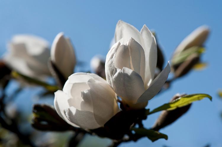 Magnolia x loebneri, late March.