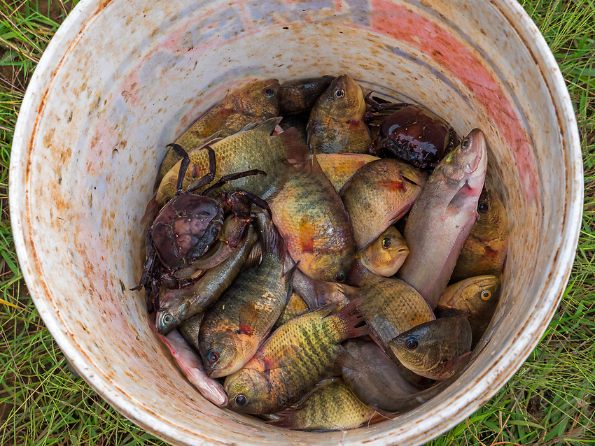 A bucket of fish the catch of the day from the rice-fields during the Monsoon season,on the road between Siem Reap and Battambang the agriculture region of Cambodia