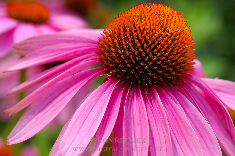 Purple Coneflower, Echinacea purpurea, US Botanic Garden, National Mall, Washington DC