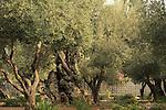 Israel, Jerusalem, Olive trees in the Garden of Gethsemane