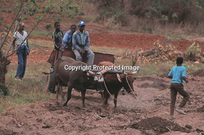 difaarg00005.Industry.  Farming. Animals. Black Farmers in the fields close to Mutare, Zimbabwe 11/98. Ploughing with oxes. Traditional farming. Poverty, old fashion farming. .©Per-Anders Petterson/iAfrika Photos
