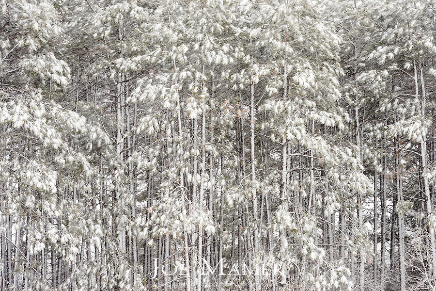Late spring snowstorm in pine forest.