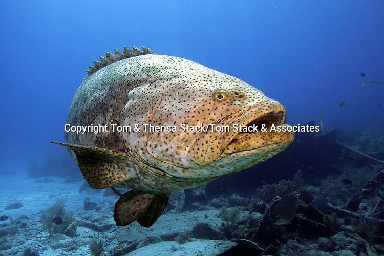 Goliath Grouper, Epinephelus itajara