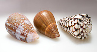 Detail of a seashell. The Dieter Cosman Shell Collection is a large private collection of gastropod shells and bivalves donated to Occidental College.<br />
