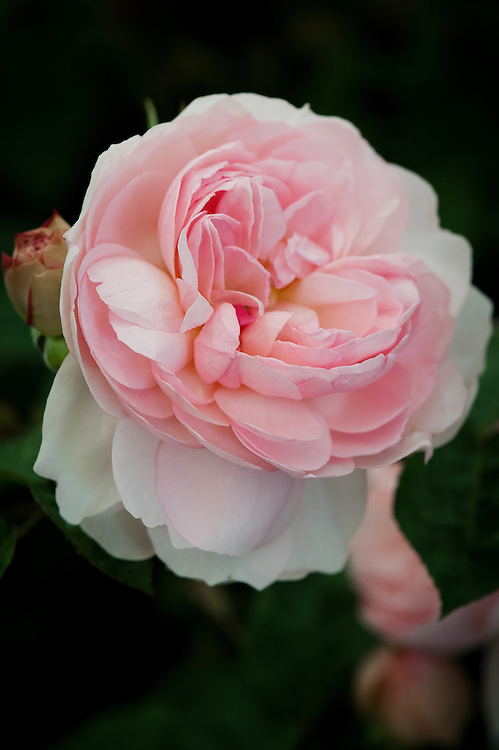 Rosa Gentle Hermione ('AusRumba'), early July. A repeat-flowering, strongly scented, pink shrub rose. From David Austin, 2005, named after the wife of Leontes, the King of Sicilia and mother of Perdita in Shakespeare's 'The Winter's Tale'.