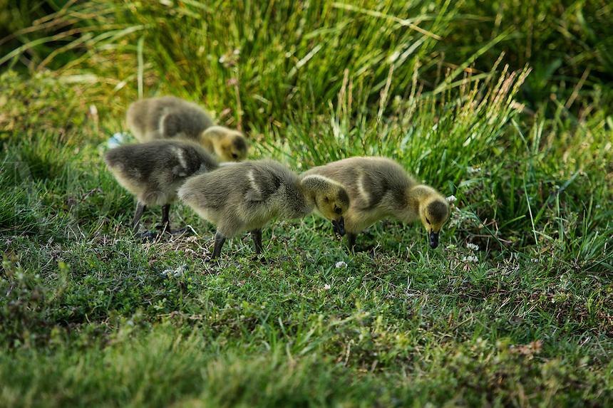 Canadian goose gosslings.