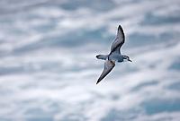 Antarctic Prion - Pachyptila desolata