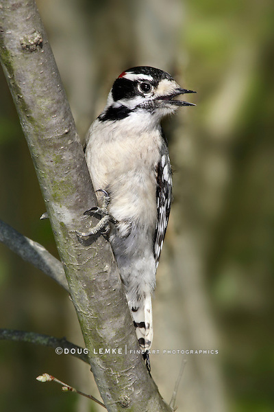 A Cute Little Bird, The Downy Woodpecker, Picoides pubescens