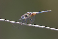Blue Dasher (Pachydiplax longipennis) - Juvenile Male, Lake Kissimmee State Park, Lake Wales, Polk County, Florida