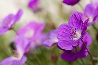 Purple blossoms in a gentle breeze