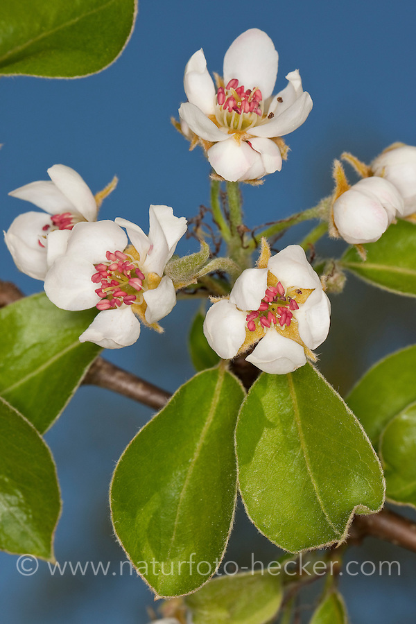 Birne, Birnbaum, Kultur-Birne, Kulturbirne, Garten-Birnbaum, Obstbaum, Pyrus communis, Common Pear, Poirier commun