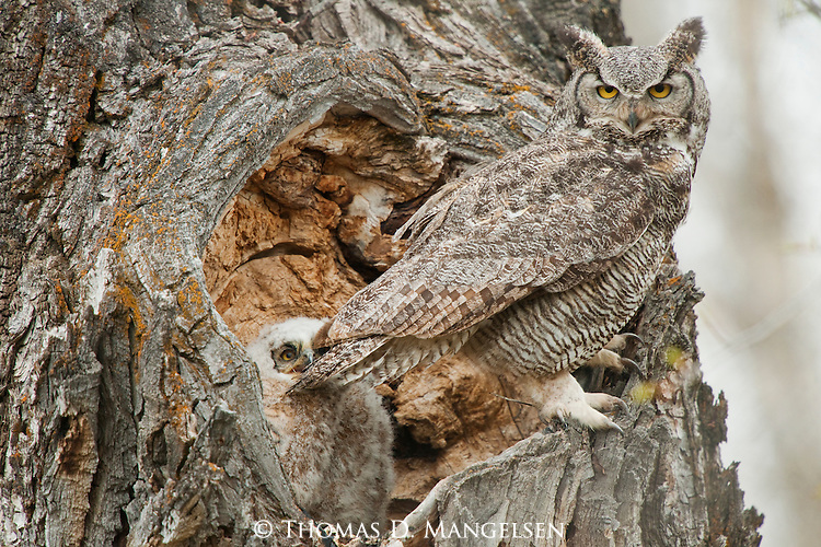A great horned owlet bites its parent's tail feathers in Grand Teton National Park, Wyoming.