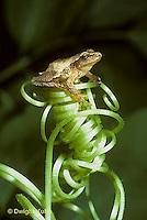 FR16-042a  Spring Peeper Tree Frog -sitting on pumpkin tendril -  Pseudacris crucifer, formerly Hyla crucifer