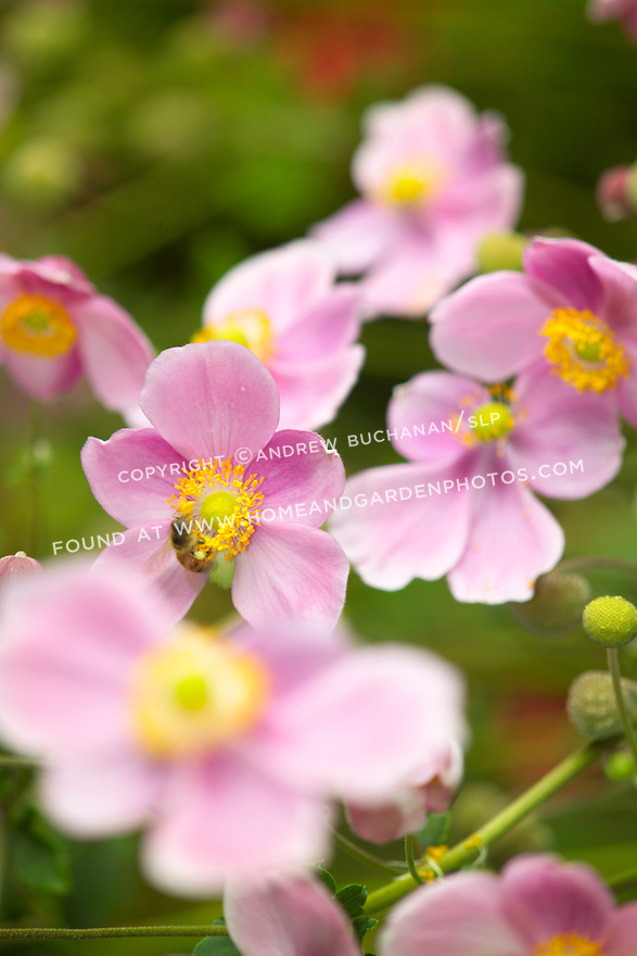 A lone honeybee crawls on yellow stamens at the center of a bright pink flower of a Japanese Anemone in this shallow-focus detail shot that includes other pink anemone flowers and a very soft green background.