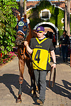"""DEL MAR, CA  AUGUST 24:  #4 Giant Expectations, ridden by Drayden Van Dyke, enters the paddock before the Pat O'Brien Stakes (Grade ll) """"Win and You're In Breeders' Cup Dirt Mile Division"""" on August 23, 2019 at Del Mar Thoroughbred Club in Del Mar, CA.  ( Photo by Casey Phillips/Eclipse Sportswire/CSM)"""