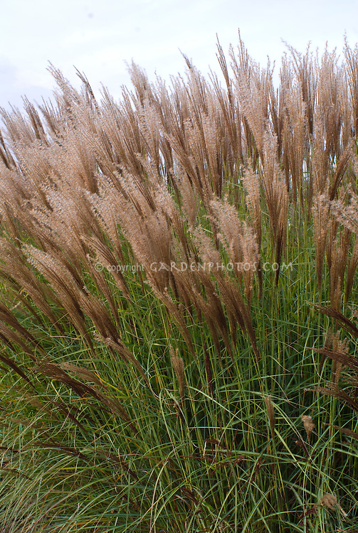 Miscanthus sinensis Undine ornamental grass in autumn fall