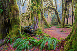 Moss hangs from bigleaf maples (Acer macrophyllum), Hoh Rain Forest, Olympic National Park, Washington, USA<br /> Canon EOS 5DS R, EF24-70mm f/4L IS USM lens, f/14 for 8 seconds, ISO 100
