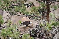 Bald Eagle Nest (Haliaeetus leucocephalus)--adult spreading new nesting material around in nest with two 5 to 6 week old eaglets in tall ponderosa pine tree.  Oregon.  May.