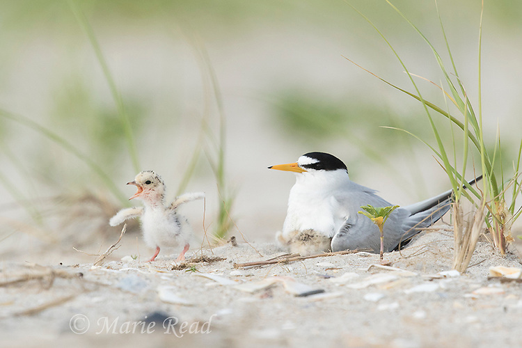 Least Terns (Sterna antillarum) adult with two chick, one begging in anticipation of being fed, Nickerson Beach, Long Island, New York, USA
