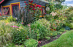 Vashon-Maury Island, WA: Summer perennial garden and pottimg shed featuring barberries, echinacea, roses, sedum, persicaria and lilies