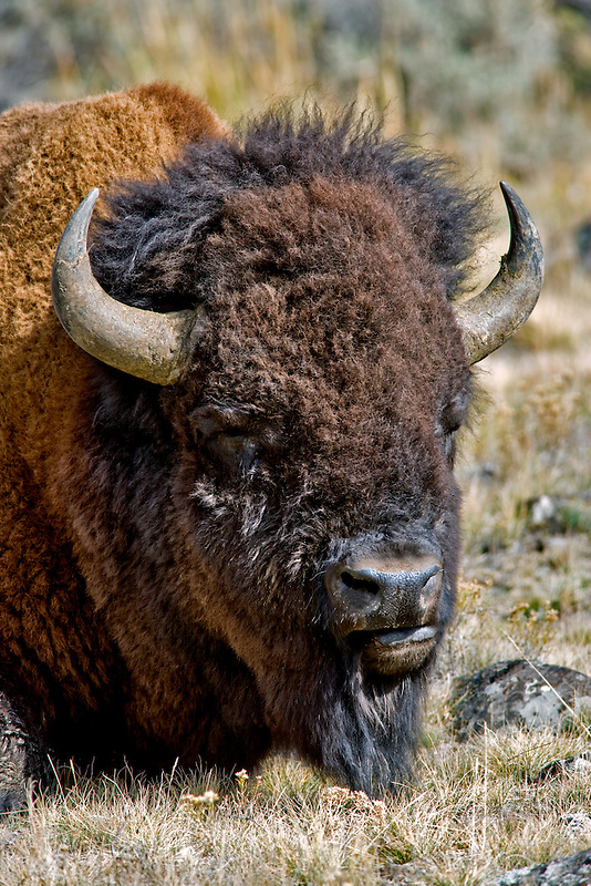 Close up of a lone buffallo. Yellowstone National Park, WY