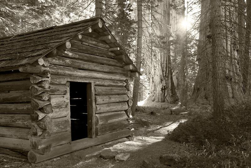 Squatters Cabin with Giant Sequoia (Sequoiadendron giganteum) Sequoia National Park, California