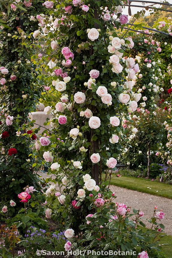 Meilland rose; 'Pierre De Ronsard' aka 'Eden' (White and Pink) Large Flowering Climber on trellis in California rose garden