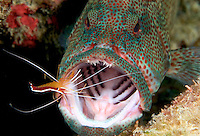 The cleaner shrimp, Lysmata amboinensis, is taking a close look for parasites on this, mouth open-wide, coral grouper, Cephalopholis miniata.  Mabul Island, Malaysia.