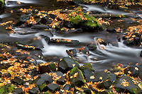 Fallen maple leaves in  Bridal Veil Creek.  Columbia River Gorge National Scenic Area. Oregon