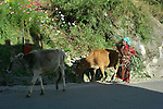 A lady in traditional dress with two cows in Vashisht, Kullu Valley Himachal Pradesh, India.