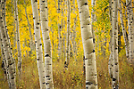 Colorado, Crested Butte, Kebler Pass. Aspen Forest in the autumn.