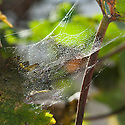 Fine webs spun by red spider mites on grape vine grown in a glasshouse, late September.